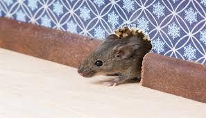 تفسير دخول الفأر الى البيت في الحلم لابن سيرين