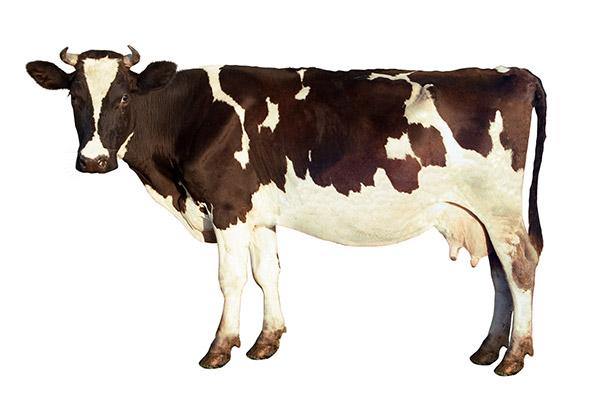 تفسير رؤية البقره السوداء او البيضاء في الحلم لابن سيرين