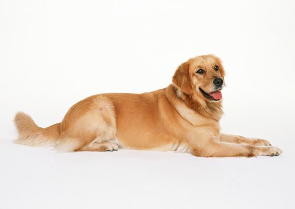 تفسير حلم الكلب الاصفر في المنام لابن سيرين