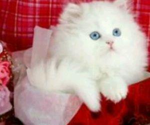 تفسير القطه البيضاء في الحلم معنى القطه البيضاء في المنام