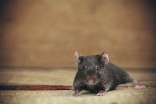 تفسير الهروب من الفار في الحلم هربت من الفئران في المنام