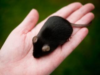 تفسير الفأر الاسود في الحلم رؤية الفئران السوداء في المنام